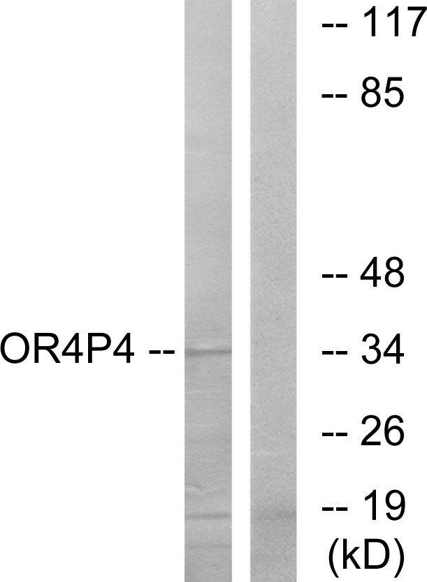 OR4P4 Antibody in Western Blot (WB)