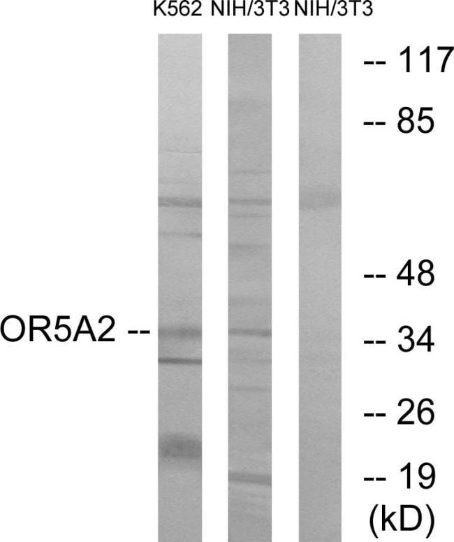 OR5A2 Antibody in Western Blot (WB)