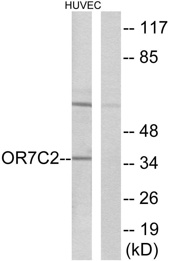 OR7C2 Antibody in Western Blot (WB)