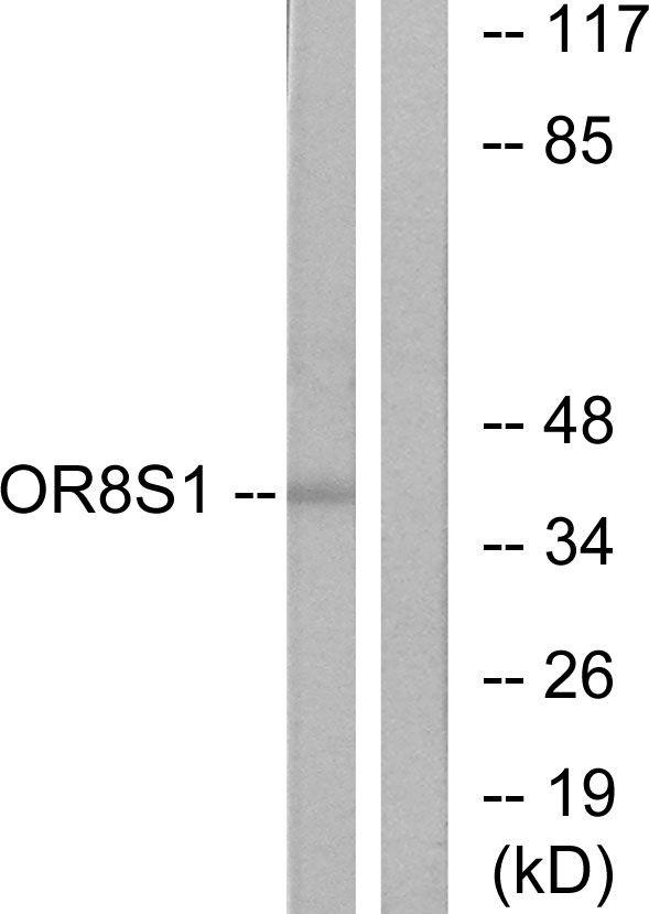OR8S1 Antibody in Western Blot (WB)