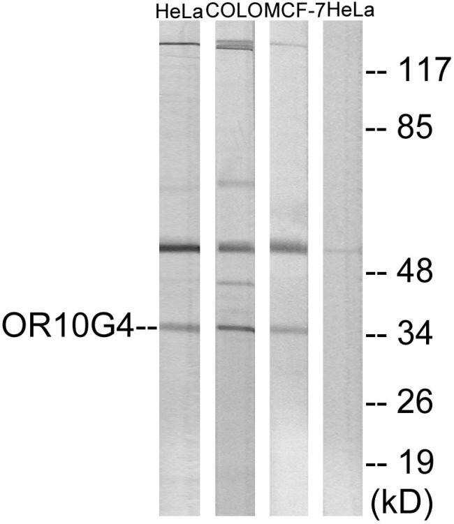 OR10G4 Antibody in Western Blot (WB)