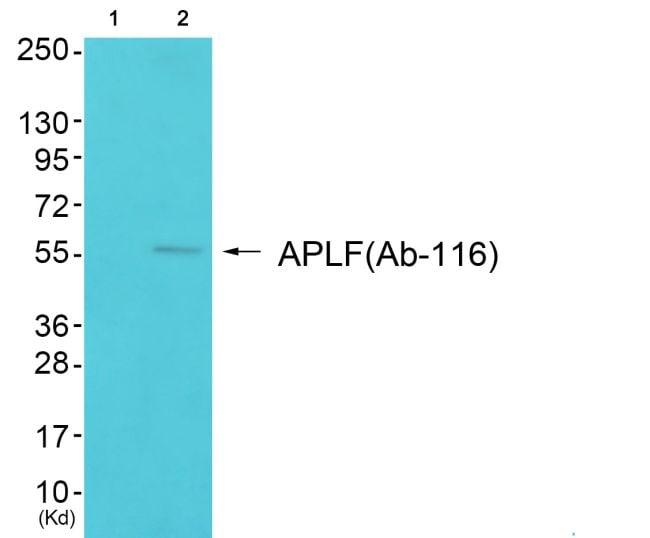 APLF Antibody in Western Blot (WB)