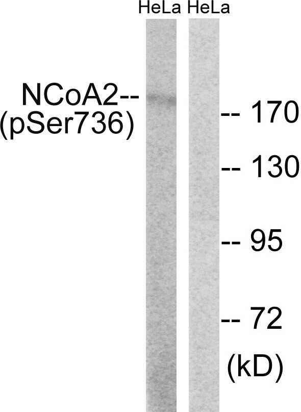 Phospho-SRC2 (Ser736) Antibody in Western Blot (WB)