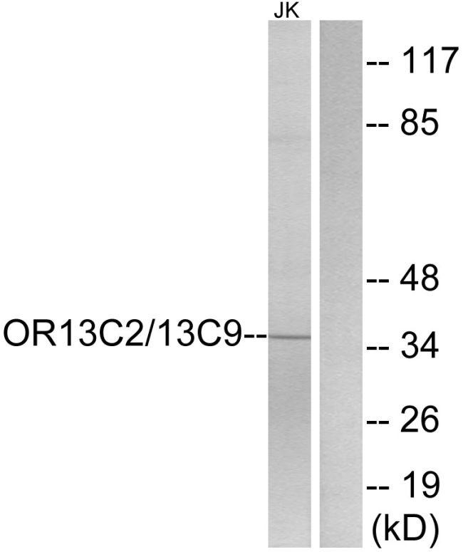 OR13C2/OR13C9 Antibody in Western Blot (WB)