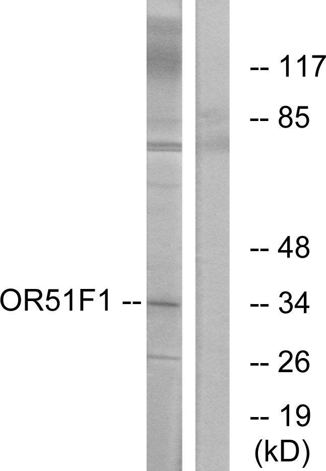 OR51F1 Antibody in Western Blot (WB)