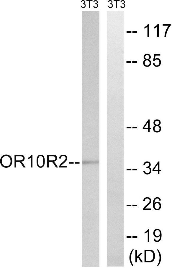 MAGEA5 Antibody in Western Blot (WB)