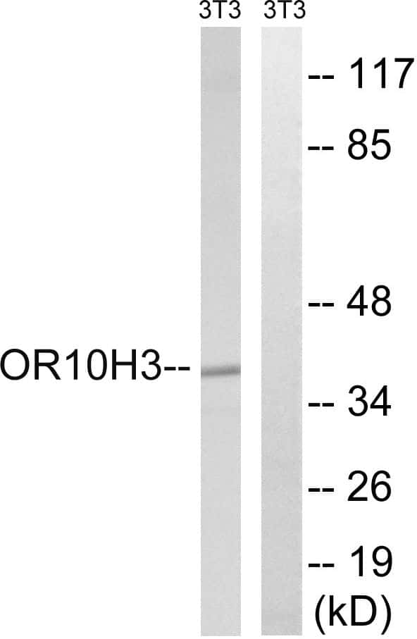 OR10H3/OR10H4 Antibody in Western Blot (WB)