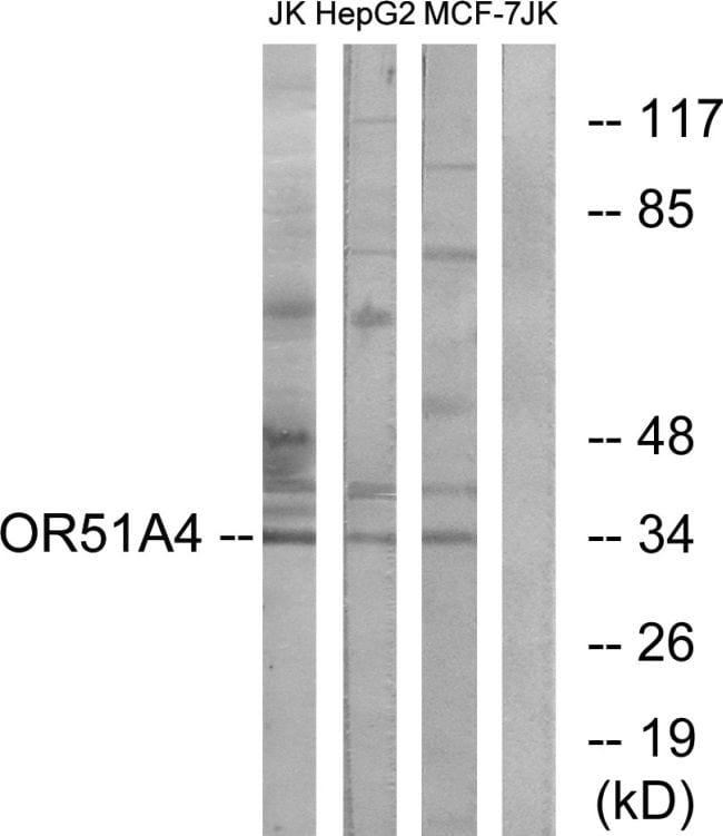 OR51A4 Antibody in Western Blot (WB)