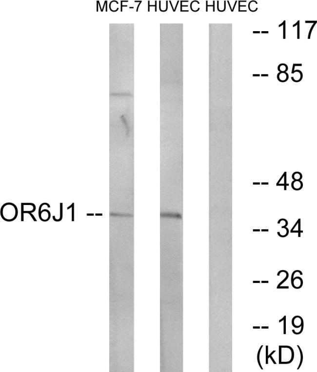 OR6J1 Antibody in Western Blot (WB)