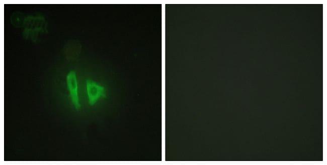 AKAP11 Antibody in Immunocytochemistry (ICC/IF)