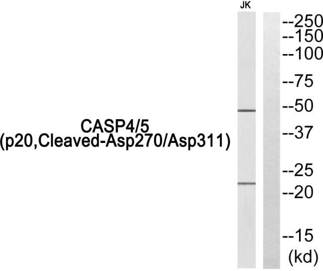 Caspase 4/5 p20 (Cleaved Asp270, Asp311) Antibody in Western Blot (WB)