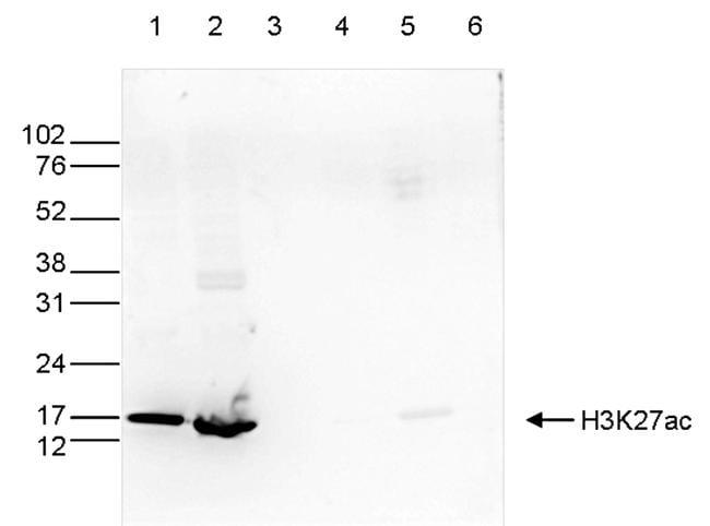 Acetyl-Histone H3 (Lys27) Antibody in Western Blot (WB)