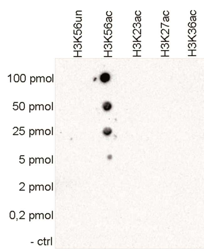 Acetyl-Histone H3 (Lys56) Antibody in Peptide Array
