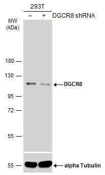 DGCR8 Antibody in Knockdown