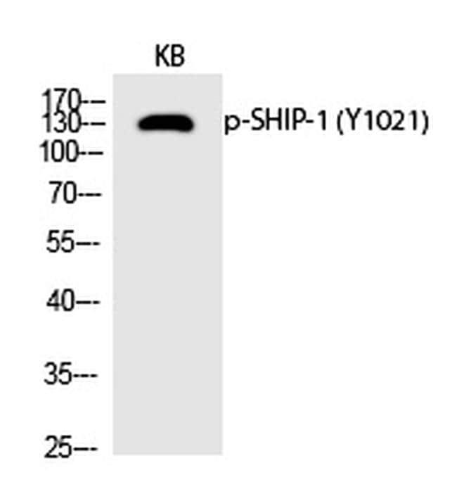 Phospho-SHIP1 (Tyr1021) Antibody in Western Blot (WB)