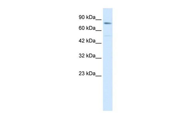 ZNF341 Antibody in Western Blot (WB)