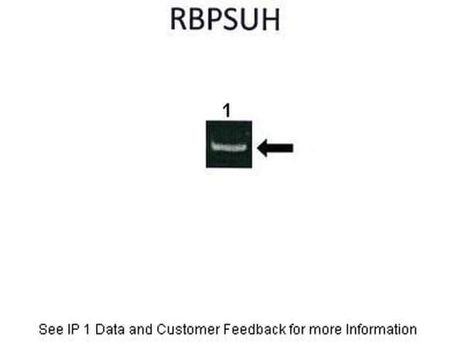 RBPJ Antibody in Immunoprecipitation (IP)