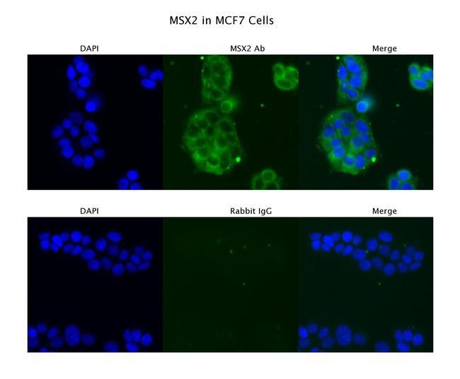 MSX2 Antibody in Immunofluorescence (IF)