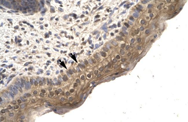 TFCP2L1 Antibody in Immunohistochemistry (IHC)