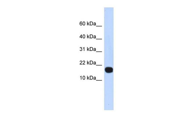 ID4 Antibody in Western Blot (WB)