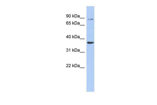 HS3ST1 Antibody in Western Blot (WB)