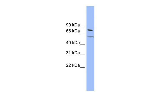 KCNQ4 Antibody in Western Blot (WB)