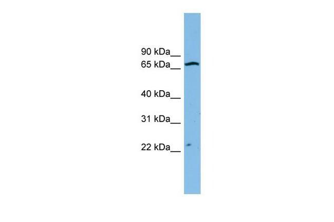 ZNF135 Antibody in Western Blot (WB)