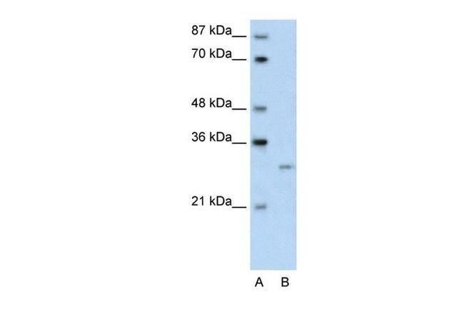 CREG1 Antibody in Western Blot (WB)