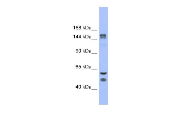 FBXL10 Antibody in Western Blot (WB)