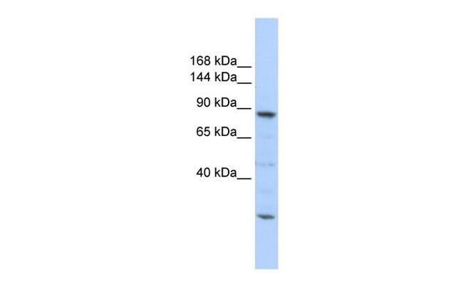 Cdc5L Antibody in Western Blot (WB)