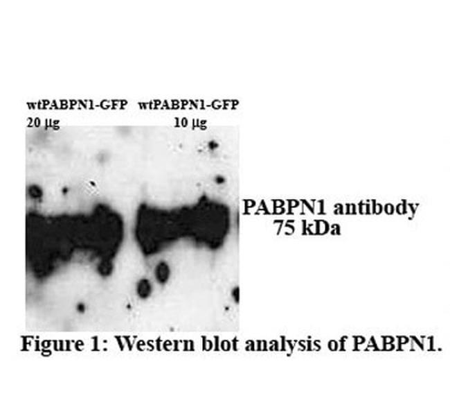 PABPN1 Antibody in Western Blot (WB)