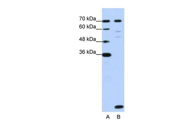 LSM2 Antibody in Western Blot (WB)