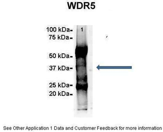 WDR5 Antibody in Immunoprecipitation (IP)