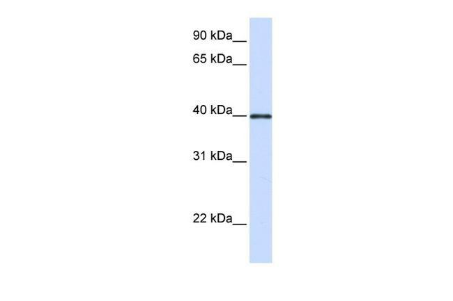 GP2 Antibody in Western Blot (WB)