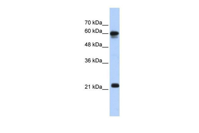 SEMA4F Antibody in Western Blot (WB)