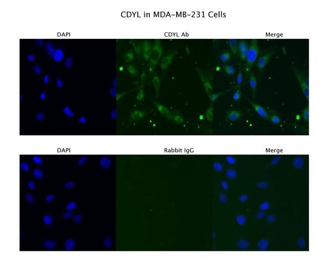 CDYL Antibody in Immunofluorescence (IF)