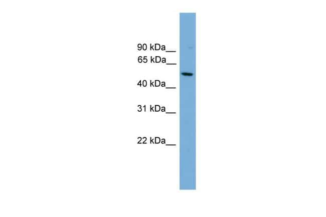 HLA-F Antibody in Western Blot (WB)