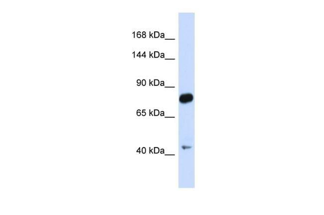 CDH23 Antibody in Western Blot (WB)