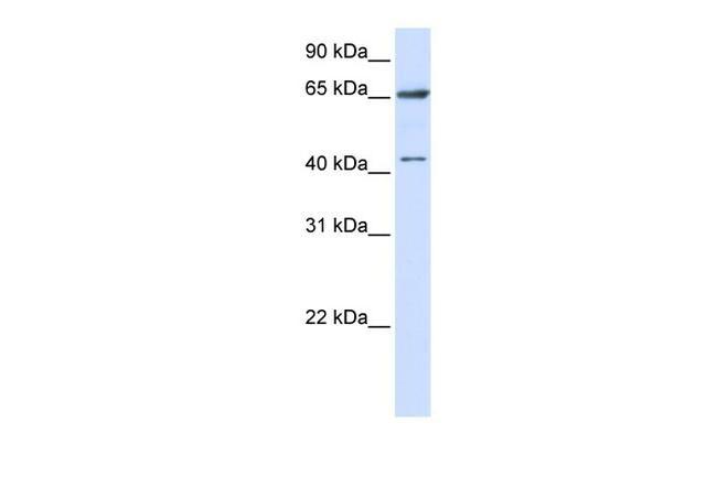 CCDC19 Antibody in Western Blot (WB)