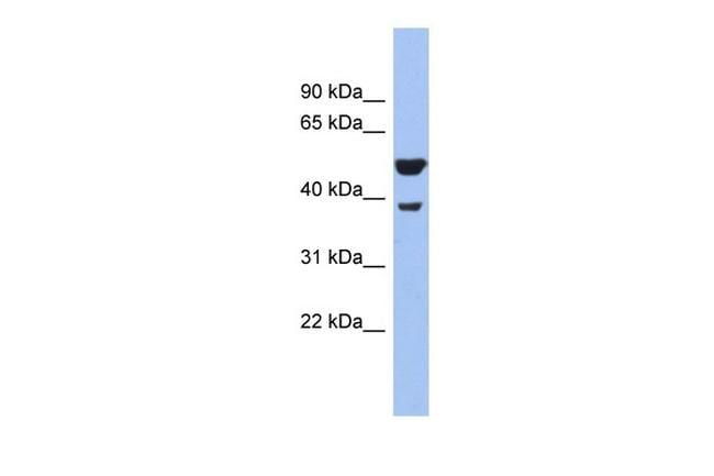 WNT3A Antibody in Western Blot (WB)
