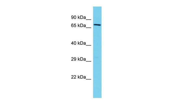 Kindlin 2 Antibody in Western Blot (WB)
