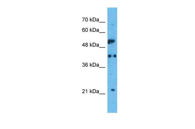 HTR1A Antibody in Western Blot (WB)