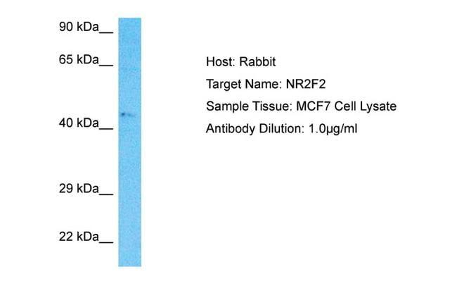 NR2F2 Antibody in Western Blot (WB)