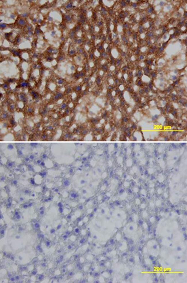 Apolipoprotein J Antibody in Immunohistochemistry (Frozen) (IHC (F))