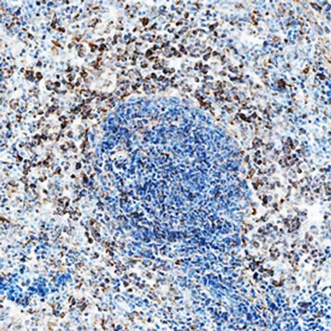 IL-2 Antibody in Immunohistochemistry (Frozen) (IHC (F))