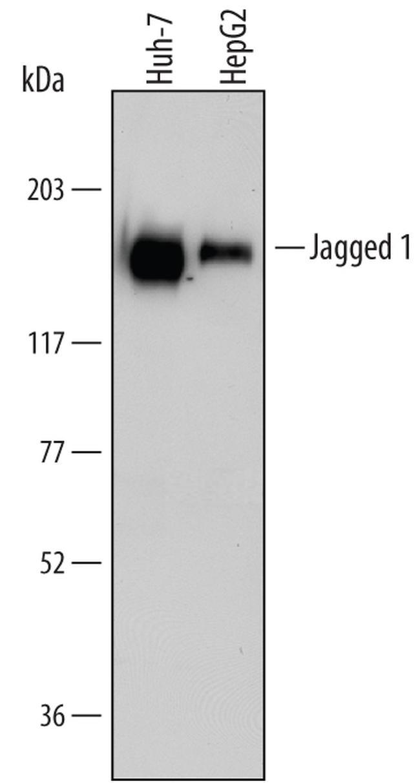 Jagged1 Antibody in Western Blot (WB)