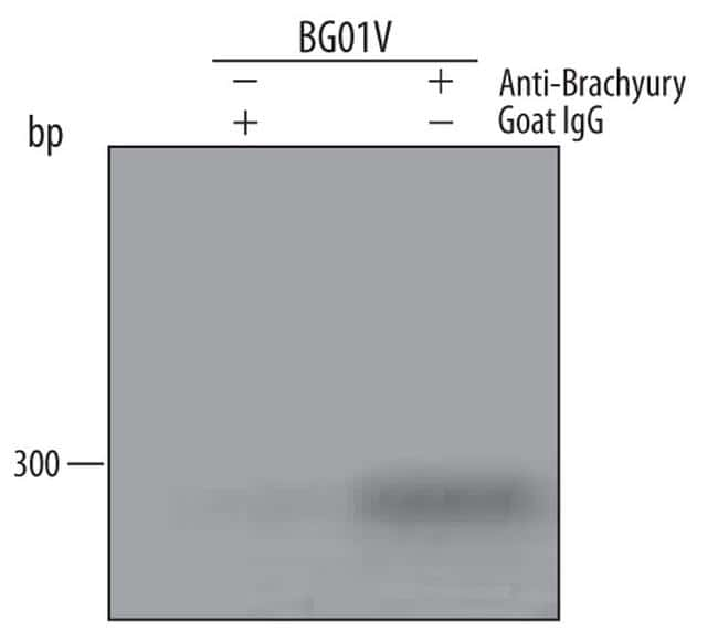 Brachyury Antibody in ChIP assay (ChIP)