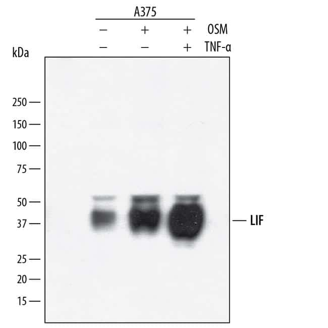 LIF Antibody in Western Blot (WB)