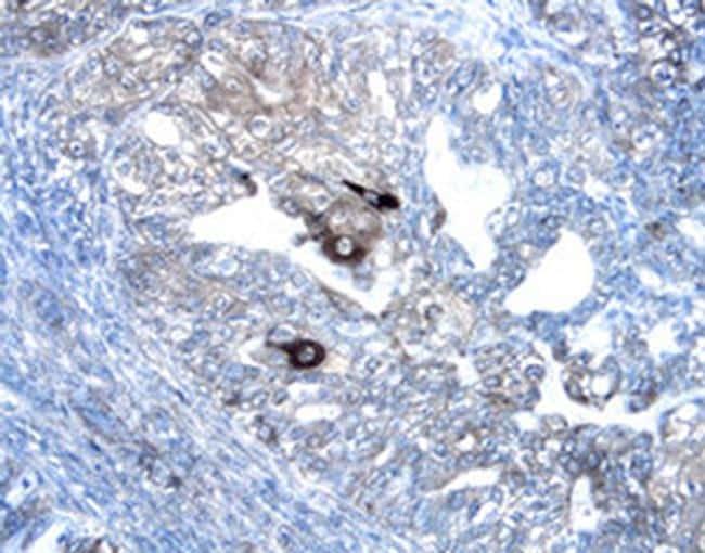 WNT7A/WNT7B Antibody in Immunohistochemistry (Paraffin) (IHC (P))