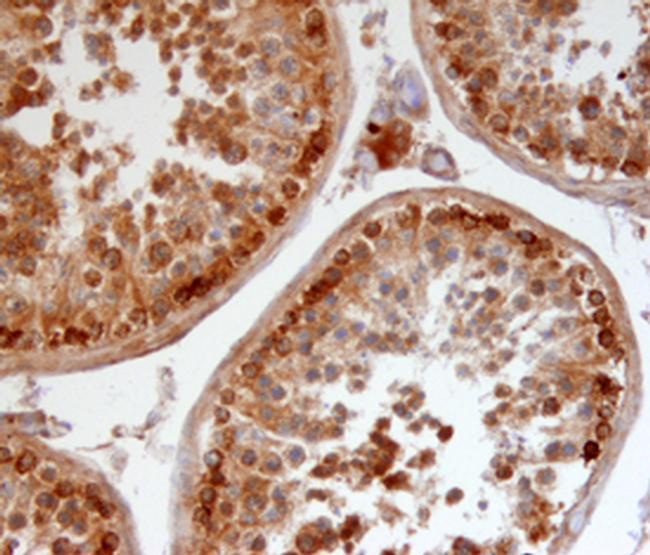 Relaxin 3 Antibody in Immunohistochemistry (Frozen) (IHC (F))